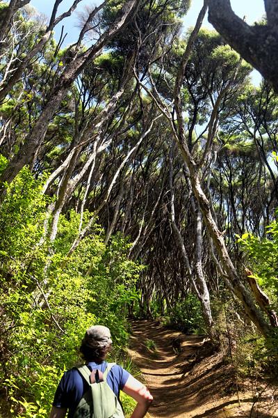 Track through manuka trees in the Waitakere Ranges