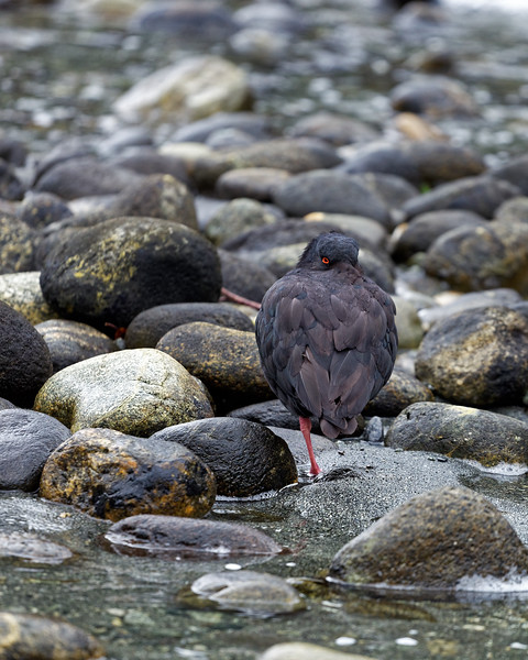 Oystercatcher in Milford Sound, Fiordland National Park
