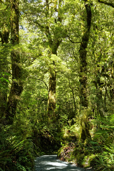 Fiordland National Park rainforest