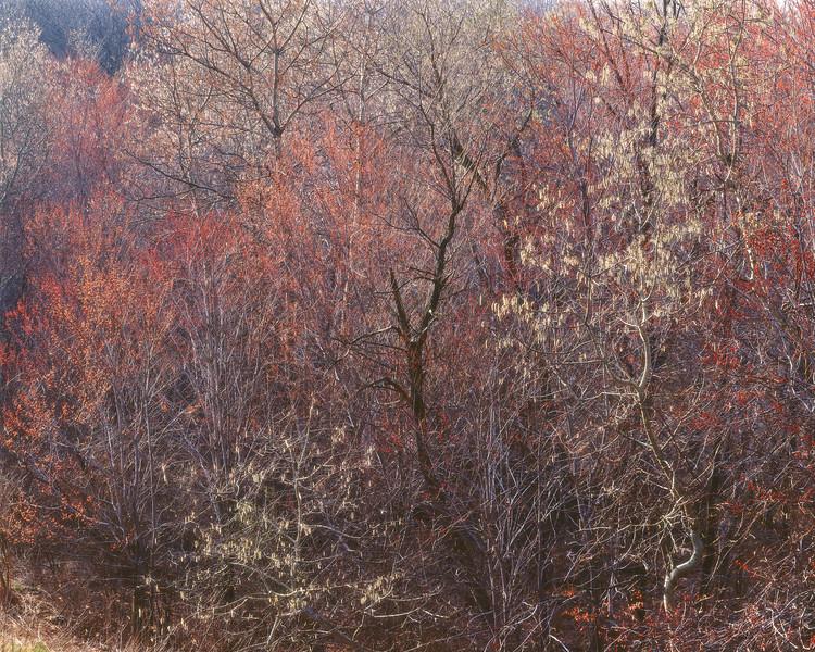 Budding Maple and Poplar Trees