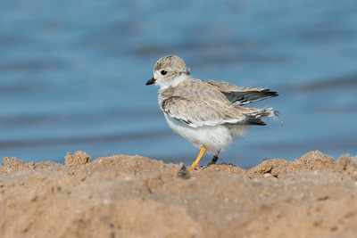 Piping Plover chick on shore flaps wings (rare/endangered) • Lakeview WMA at Lake Ontario, NY, USA • 2015