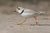 Piping Plover breeding male runs along sand (rare/endangered) • Lakeview WMA at Lake Ontario, NY, USA • 2015