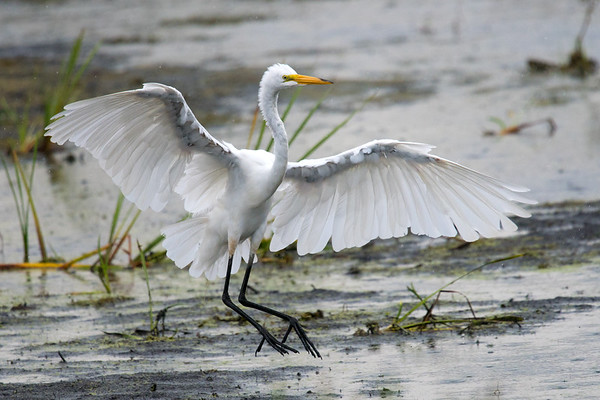 Great Egret spreads wings while landing in the rain • Montezuma NWR, NY • 2017