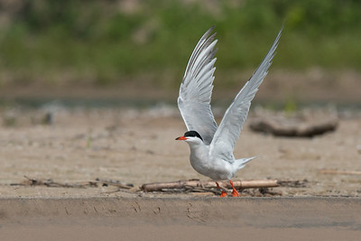 Common Tern lifts wings to take flight from beach • Lakeview WMA, NY • 2015