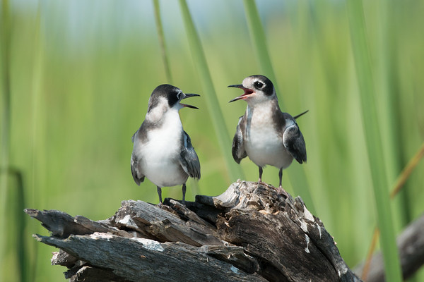 Black Tern fledglings converse in marsh • Lakeview WMA, NY • 2014