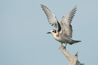 Black Tern fledgling on driftwood roost raises wings • Lakeview WMA, NY • 2014