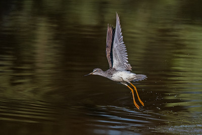 Greater Yellowlegs takes flight from water • Montezuma NWR, NY • 2016