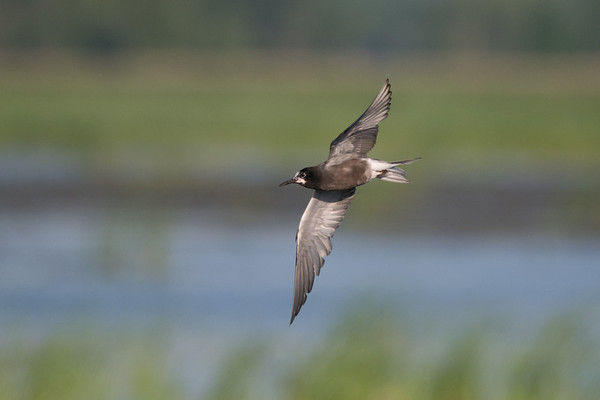 Black Tern adult in flight with wings spread  • Montezuma NWR, NY • 2016