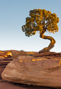 UNUSUAL TREE AT DEAD HORSE POINT, CANYONLANDS NATL PARK SUNRISE
