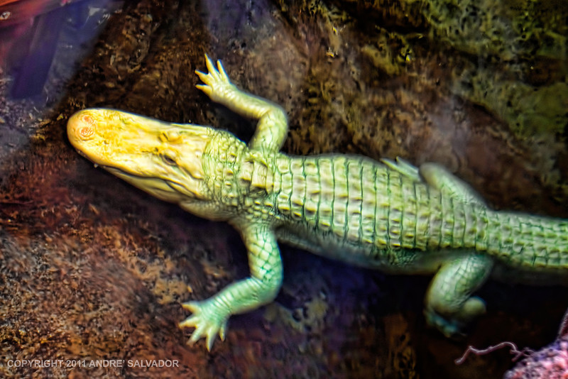 An Albino Alligator, first time I have seen one. There are many more first time for me like the brown and blue geckos, the green frogs, the 100 year old fish, the rock turtles, and many more.