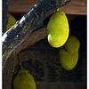 """At the back of the church beside the rsidence of the parish priest, is a huge jackfruit tree that has a lot of fruits. To have an idea of the size of this fruit, compare it to the roof rafters beyond which is 10"""" in depth."""