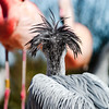 Pelican close-up portrait, proudly bird