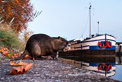 The Canadian beaver or nutria lives in the Ile River in Strasbourg. And gladly accepts treats from passers-by.