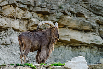 Wild mountains goat on the rock in national safari park Sigean