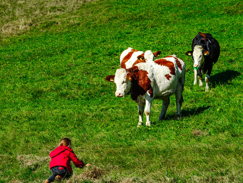 Little girl wanting to play with brown cowson the hill