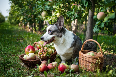 A corgi dog lies near a basket of ripe apples in a large apple orchard