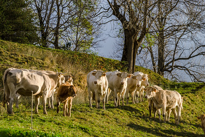 Brown and white cows on the sun, calm and tranquil pasturage, Pyrenees