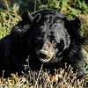 American black bear in safari park Sigean
