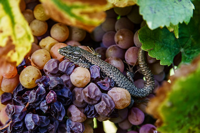 Small lizard like grapes, closup view in vineyards of Alsace