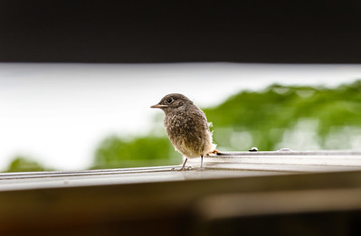 Newborn young bird first time on the roof