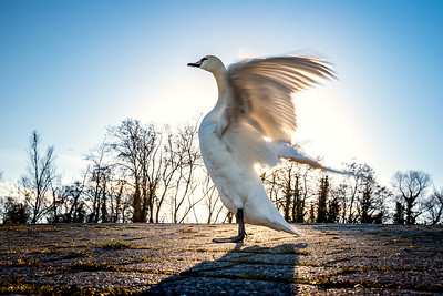 Beautiful white swan on the sun near the river with vivid blue water