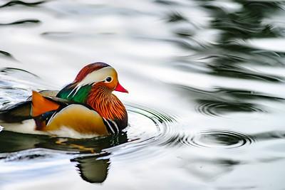 A Mandarin Duck, Aix galericulata, swimming in a small pond.