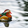 A Mandarin Duck, Aix galericulata, swimming in a small pond.