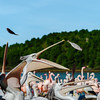 Group of pelicans waiting and catching their food, fish, dinner time