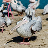 Pelican is the important personagein colony of birds