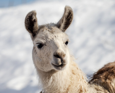 Portrait of a white lamas head on a snow background. Delicate eyelashes and beautiful eyes.