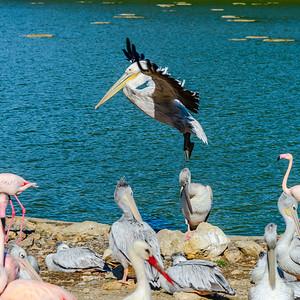 Beautiful pelican grounding to the lake side, big wings, proudly bird