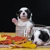 Welsh Corgi Cardigan Puppy