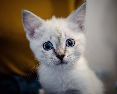White kitten with blue eyes on a sofa