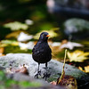 Black thrush - Turdus merula male bird with yellow beak, sitting near the water,  autumn