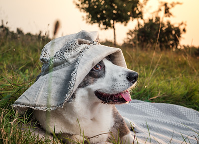 Funny corgi dog posing in a female hat against the backdrop of the setting sun