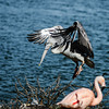 Beautiful pelican grounding to the lake side, big wings, proudly bird