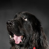 Portrait of big black water-dog, studio shooting