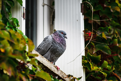 Beautiful pigeon sitting on the window closeup view