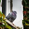 Beautiful pigeon sitting on the window closeup view