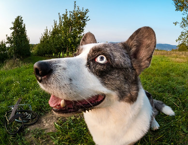 Funny corgi dog photographed with a fishye lens, funny distorted proportions of the muzzle