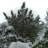 Beautiful pinetree snowcovered after big snowfall