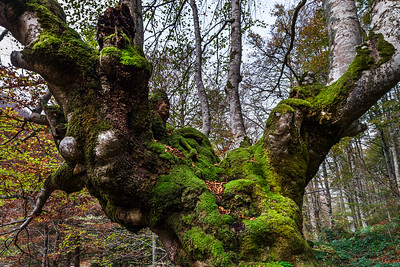 Beautiful green moss on old big tree, autumnal forest, natural concept