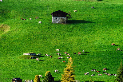 Little cows on green grass hill near the village, miniature view.