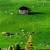 Little cows on green grass hill near the village, miniature view.