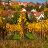 Yellow and orange colors of autumn vineyards in Alsace. The crop has already been harvested. Stunningly beautiful and colorful hills of the Vosges.