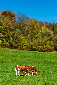 Brown rufous carroty cows on green grass pasturage, sunny autumn day