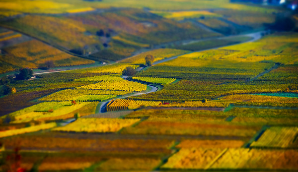 Aerial tilt-shift view of geometrical fields of grape