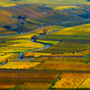 Aerial tilt-shift view of geometrical fields of grape