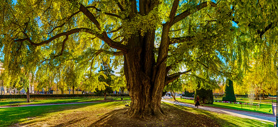 Huge ginkgo tree known as Goethe tree with yellow leaves, Republic square in Strasbourg, panoramic view