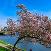 Blooming magnolia on the quay of Strasbourg, France, flowering springtime